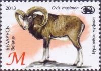 European Mouflon (Ovis orientalis musimon), MINT, 2013