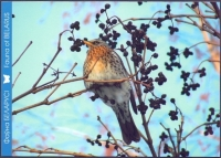 Fieldfare (Turdus pilaris), postcard without stamp, 2013