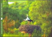 White Stork (Ciconia ciconia) 1st, postcard without stamp, 2013