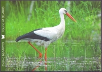 White Stork (Ciconia ciconia) 2nd, postcard without stamp, 2013
