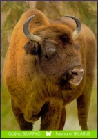 European Bison, postcard without stamp, 2014