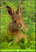European Hare, postcard without stamp, 2014