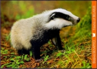Badger, postcard without stamp, 2014