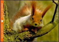 Red Squirrel, postcard without stamp, 2014
