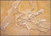 Archaeopteryx, postcard without stamp, 2014