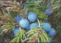 Greenlandic herbs - Common juniper (Juniperus communis), postcard without stamp, 2013