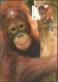Australian Zoos: Sumatran orangutan, maximum card, 2012