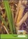 Sugarcane, maximum card, 2012