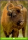 European Bison, postcard without stamp, 2014