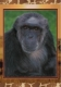 Chimpanzee, postcard without stamp, issue date 2014