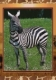 Zebra, postcard without stamp, issue date 2014