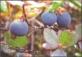Greenlandic herbs - Bilberry (Vaccinium uliginosum), postcard without stamp, 2012
