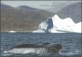 Humpback Whale in Greenlandic waters, postcard without stamp, 2012