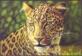 Big 5 - Leopard, postcard, 2014