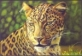 Big 5 - Leopard, postcard, 2014