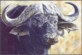 Big 5 - Buffalo, postcard, 2014
